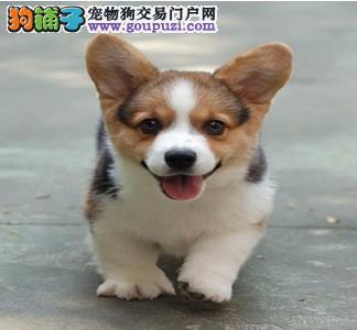 重庆哪里出售柯基犬 柯基犬价格多少