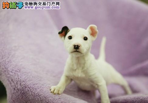 深圳哪里有卖牛头梗犬 深圳纯种牛头梗出售
