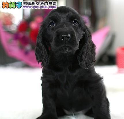 出售聪明伶俐淮安可卡品相极佳微信咨询看狗狗视频