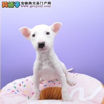 广州牛头梗幼犬火爆出售海盗眼个性十足 售后服务好