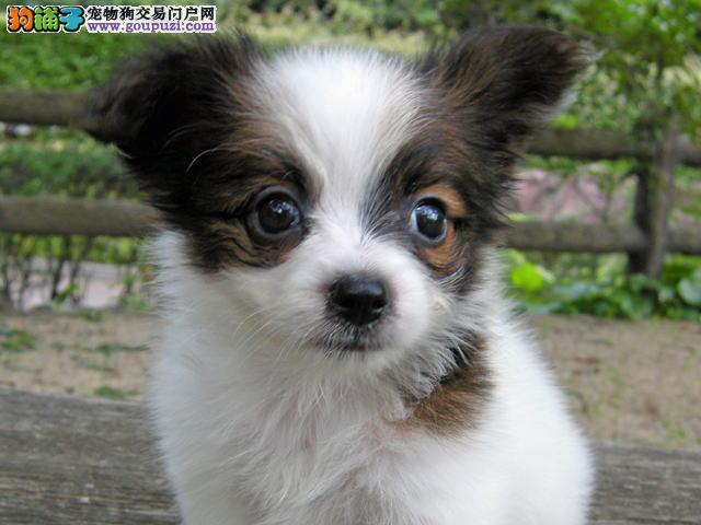 呼和浩特出售纯种高品质蝴蝶犬、蝴蝶幼犬 血统纯正