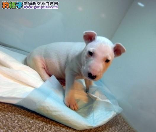 牛头梗之家出售牛头梗幼犬、纯白、海盗眼的都有