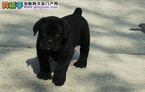纯种卡斯罗犬包裁耳2到4个月幼犬健康保证 质保三年