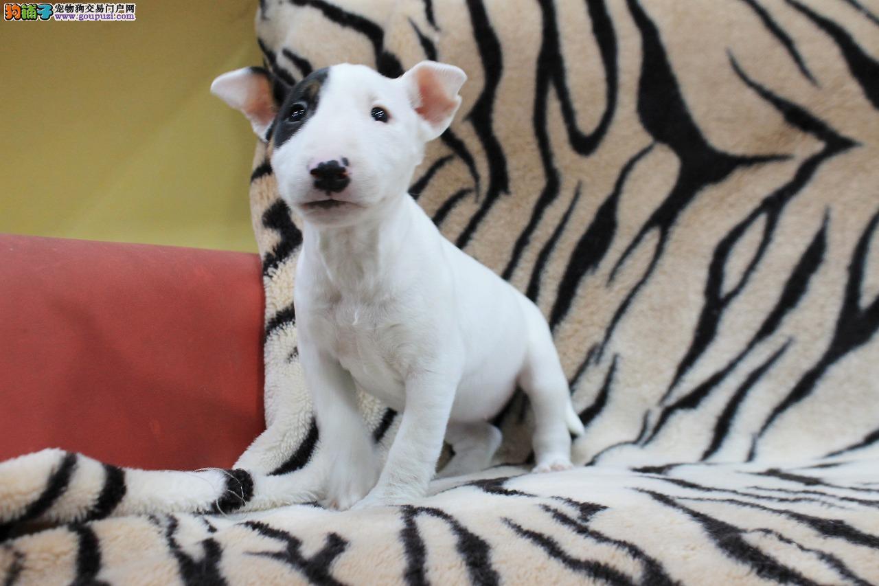 牛头梗犬出售牛头梗幼犬疫苗做齐健康保证