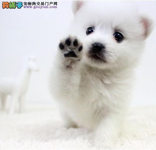 郑州知名犬舍出售多只赛级银狐犬CKU认证绝对信誉保障