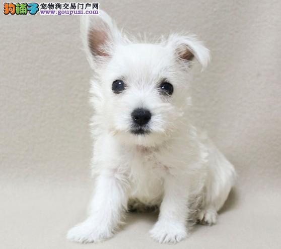 繁殖基地便宜出售玩具西高地幼犬,高品质西高地出售
