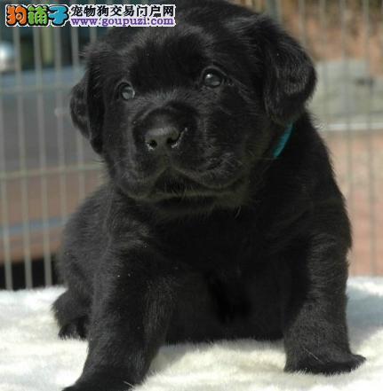 专业繁殖高品质拉布拉多犬 购买有保障