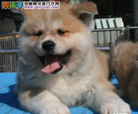 最好的日系秋田实体店出售中 最讨人喜欢的宠物狗
