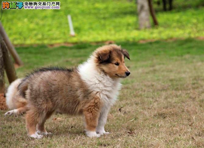 正规大型犬舍出售精品苏格兰牧羊犬