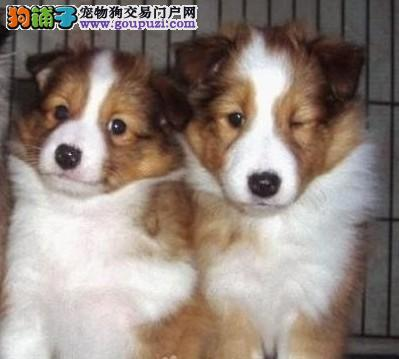 CKU认证犬业专业繁殖苏牧宝宝 绝对信誉