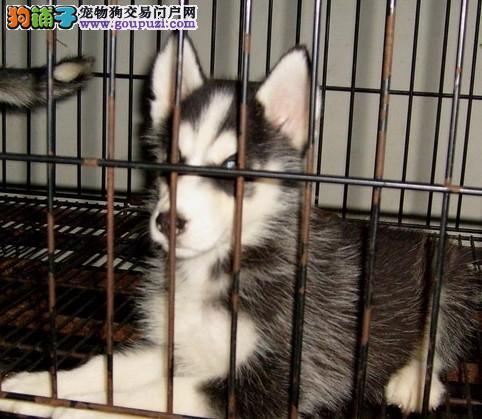 上海哪有哈士奇上海哈士奇价格三火蓝眼哈士奇雪橇犬