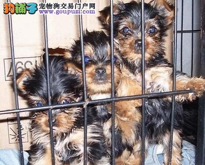 上海专业繁殖高品质赛级约克夏 购买赠送教材