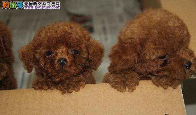 泰迪犬舍 上海泰迪犬舍 玩具体型泰迪 专业繁育泰迪犬