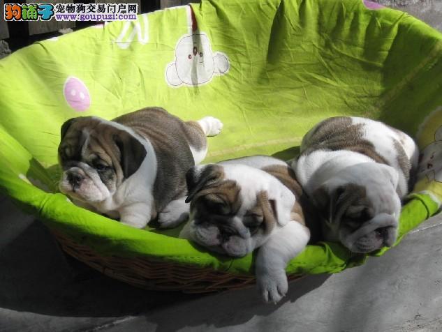 英国斗牛犬,法国斗牛犬,上海买斗牛犬