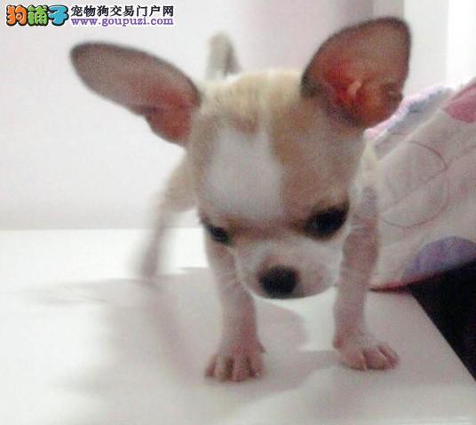 墨西哥吉娃娃犬 幼犬品质健康三年质保签协议