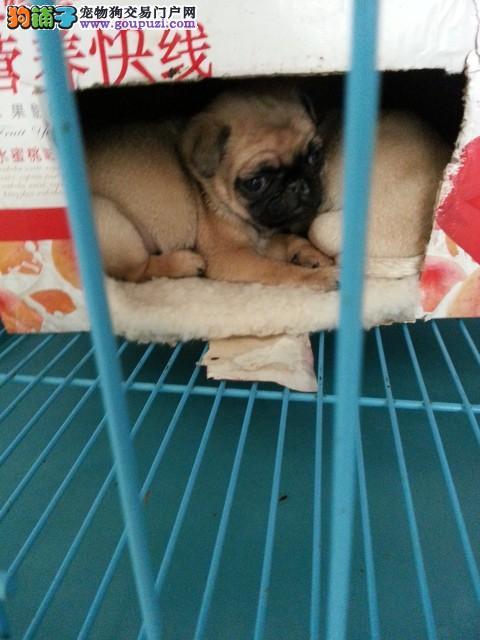 上海/纯种巴哥幼犬小八哥宝宝巴哥犬幼犬出售小哈巴狗[两个月公母...
