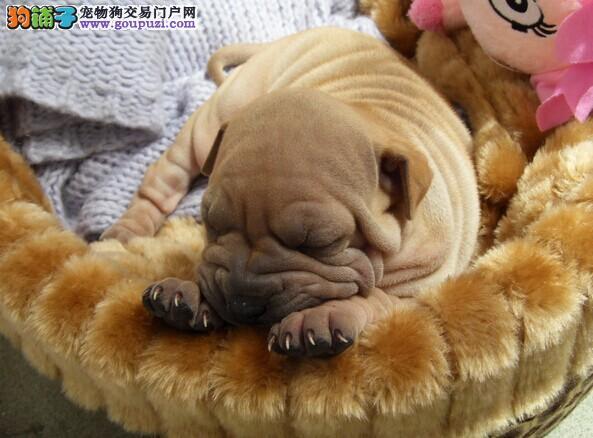新疆哪里有沙皮犬卖 新疆沙皮犬多少钱 新疆宠物狗狗