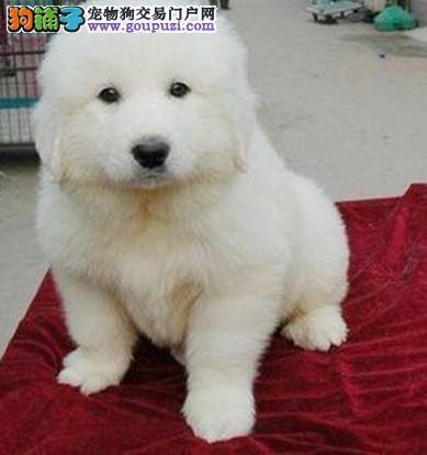 巨型大白熊 纯种大白熊 大白熊养殖基地 质量三包