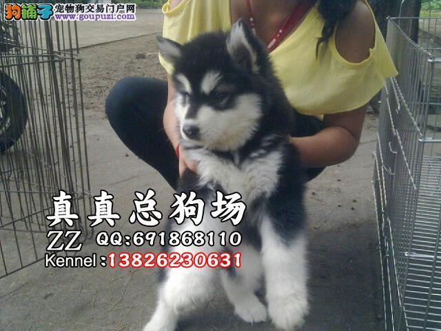 基地直销极品阿拉斯加幼犬 保健康保纯种 签售后协议