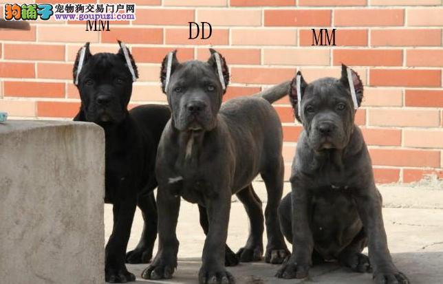 卡斯罗犬幼崽出售中 精心繁育品质优良 签订正规合同