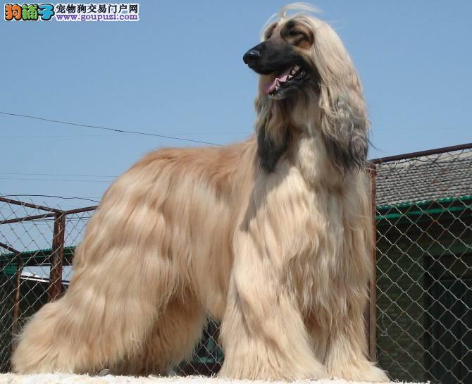 大型专业培育阿富汗猎犬幼犬包健康终身售后协议