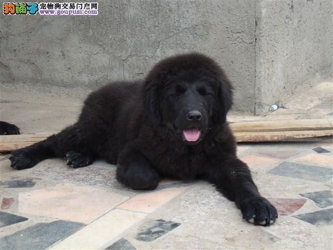 纽芬兰犬CKU认证犬舍自繁自销均有三证保障
