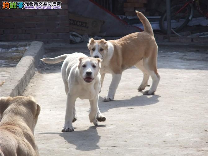 中亚牧羊犬 不以价格惊天下 但以品质惊世人看父母照片喜欢加微信