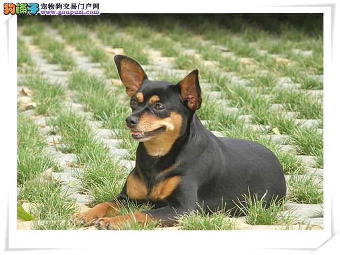 闵行区小鹿犬多少钱小鹿犬照片出售小鹿犬