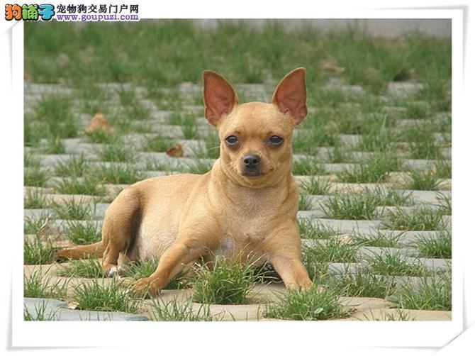 长沙哪里有小鹿犬出售的 长沙小鹿犬价格小鹿犬图片