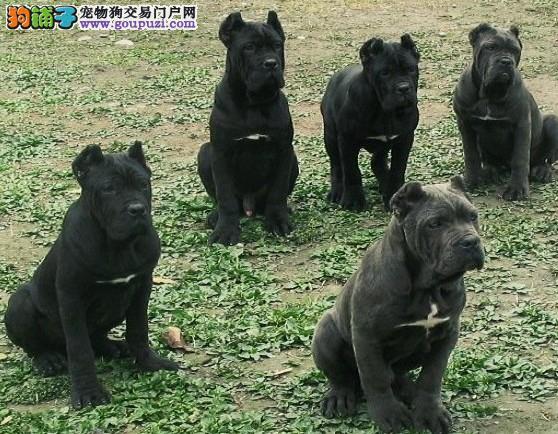 出售赛级卡斯罗犬、纯度第一价位最低、购买保障售后