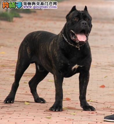 火爆出售血统纯正的青岛卡斯罗犬狗贩子请勿扰
