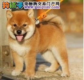 菏泽热销柴犬颜色齐全可见父母专业繁殖中心值得信赖