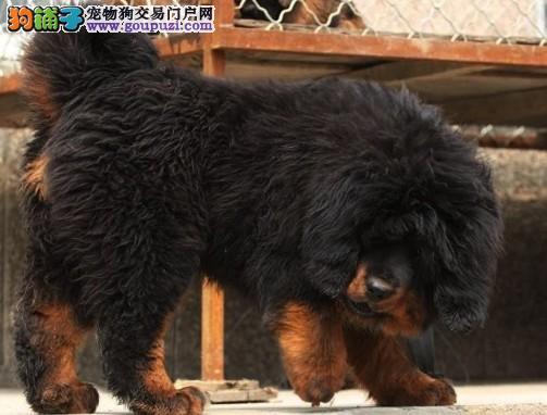 广州哪里有卖纯种藏獒犬 出售大狮子头纯种藏獒幼犬