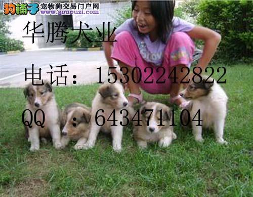 东莞哪里有卖苏格兰牧羊犬价格多少纯种苏牧幼犬价格