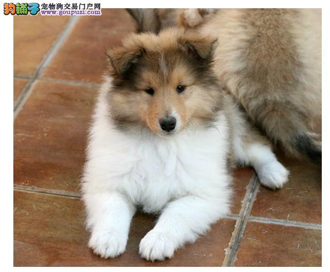 犬舍直销纯种三色雕色苏牧幼犬苏格兰牧羊犬宠物犬