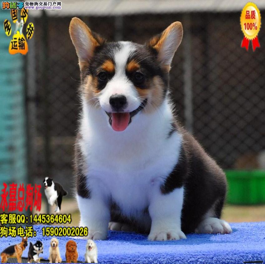 纯种 柯基幼犬出售 质量有保障 永嘉狗场