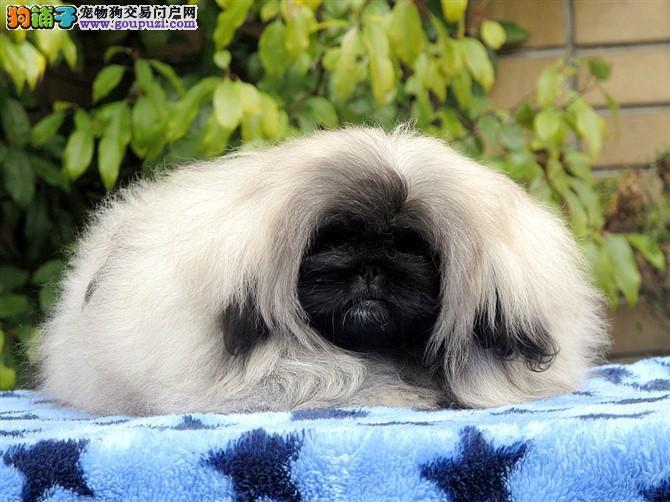 双血统赛级查理血统迷你京巴幼犬 实物拍摄 三年质保