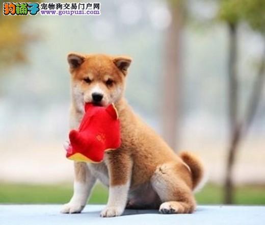出售纯种柴犬,金牌店铺信誉第一,提供养狗指导