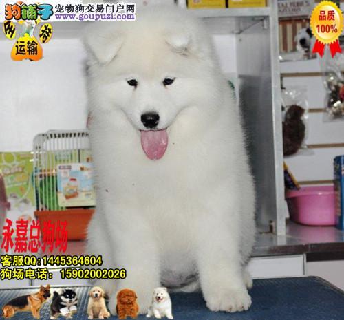 深圳正规狗场 最大狗场 永嘉狗场 出售萨摩耶幼犬