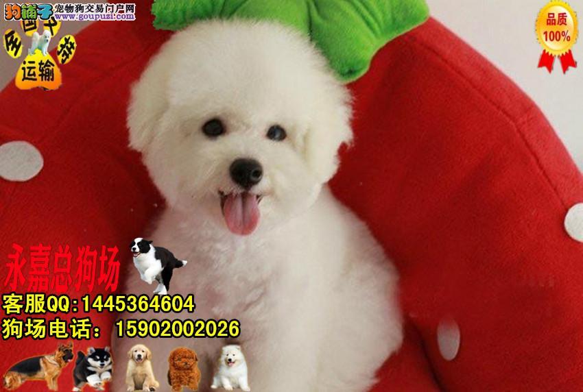 深圳正规狗场 最大狗场 永嘉狗场 出售比熊幼犬
