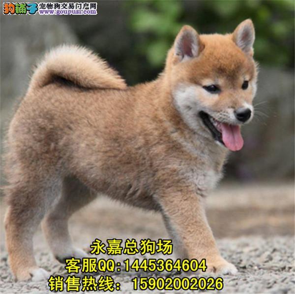 深圳正规狗场 最大狗场 永嘉狗场 出售秋田幼犬
