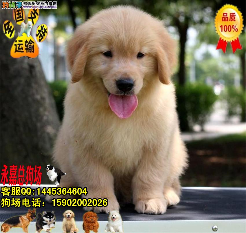 深圳正规狗场 最大狗场 永嘉狗场 出售金毛幼犬