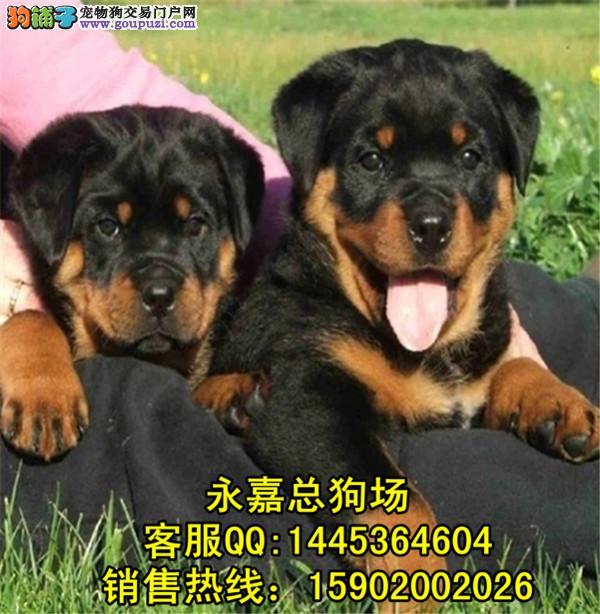 深圳正规狗场 最大狗场 永嘉狗场 出售罗威纳幼犬