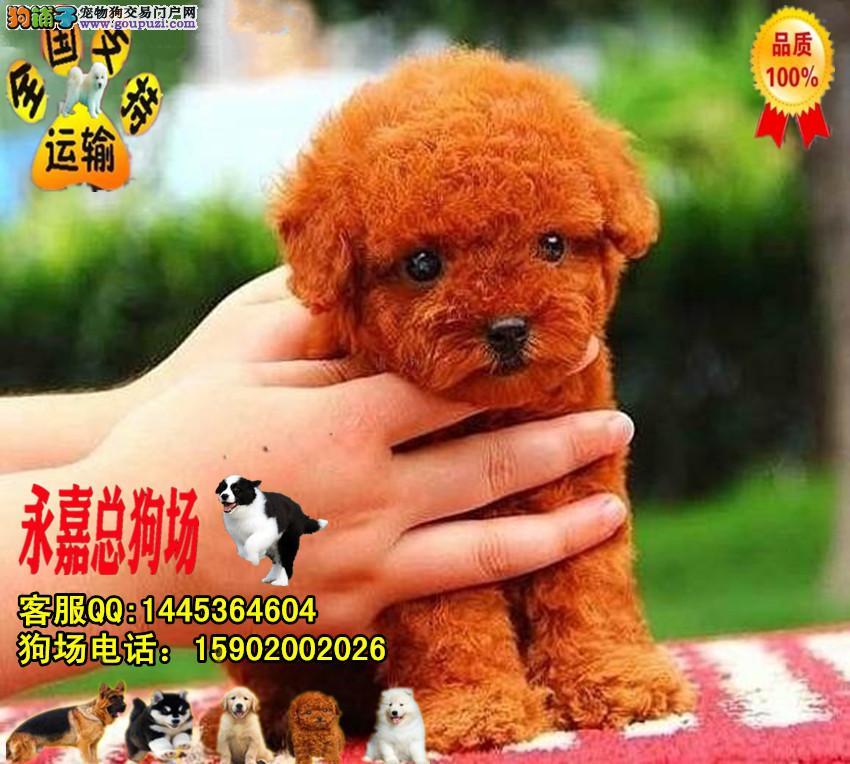 深圳正规狗场 最大狗场 永嘉狗场 出售贵宾犬幼犬