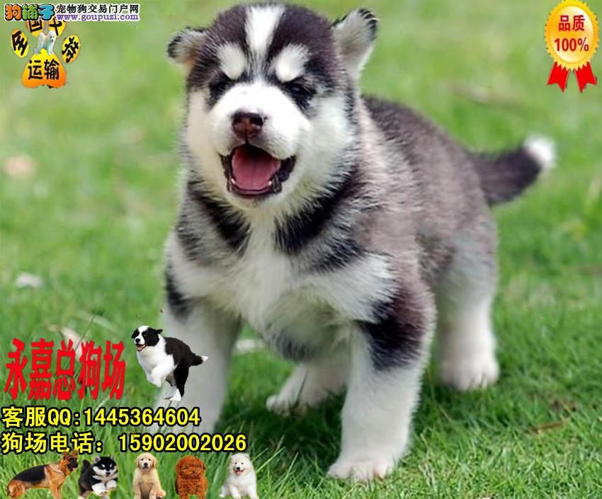 深圳正规狗场 最大狗场 永嘉狗场 出售哈士奇幼犬