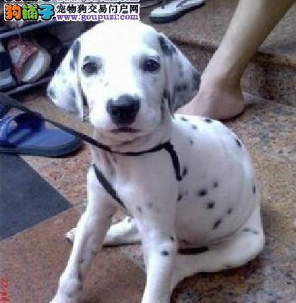 自家繁殖的纯种斑点狗找主人提供护养指导