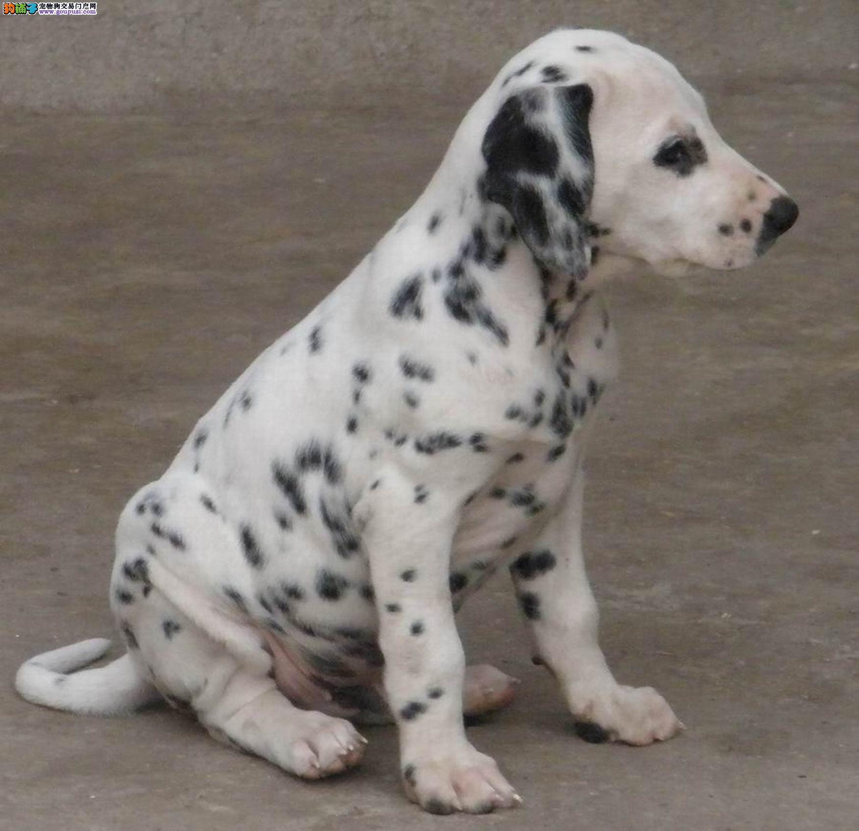 宜昌哪有卖斑点犬 斑点犬好养吗 斑点犬长多大 好养吗