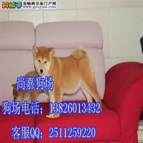 中山哪里有卖柴犬 中山日本柴犬多少钱