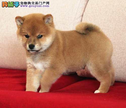 顶级日本柴犬在这,可以办理血统证书
