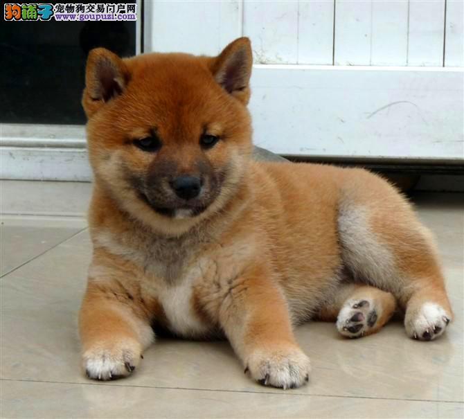 家养繁殖 纯种日系柴犬宠物狗狗 疫苗齐包品质健康